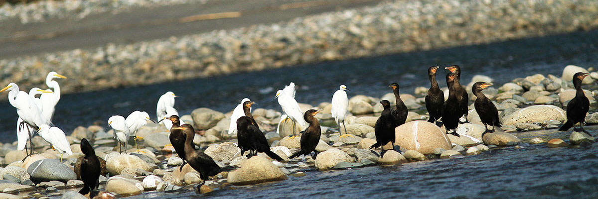 Cormorans and eaglets at Manu Reserved Zone