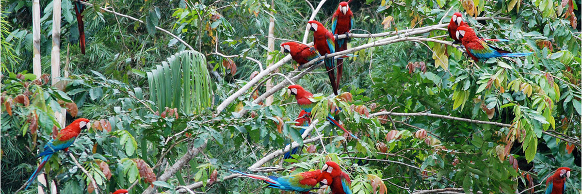 Macaws in Manu reserved zone